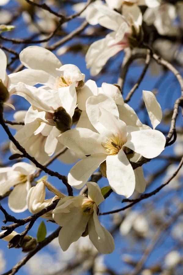 Retrato de dos flores de la magnolia foto de archivo libre de regalías
