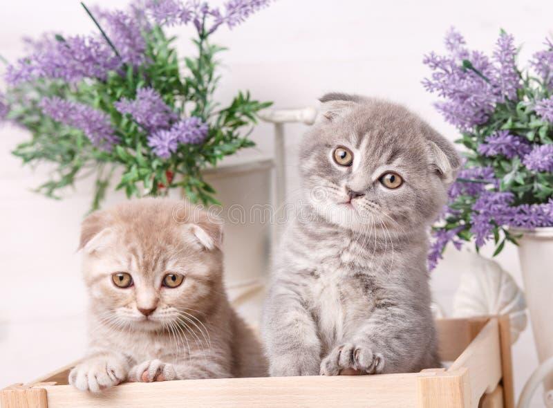 Retrato de dos gatitos escoceses Gatos juguetones en el cajón Fondo hermoso de los gatos fotos de archivo