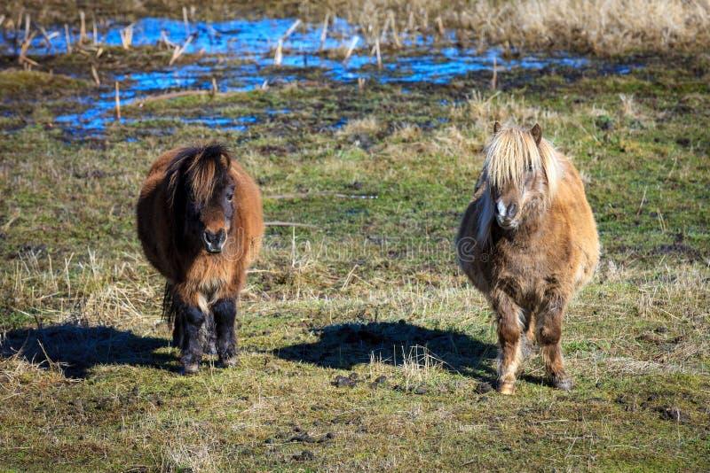Retrato de dos mini caballos imagenes de archivo