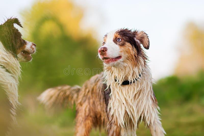 Retrato de dos perros de pastor australianos mojados imágenes de archivo libres de regalías