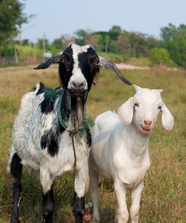 Retrato de duas cabras imagens de stock