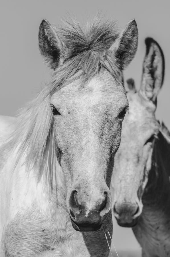 Retrato de duas mulas imagem de stock royalty free