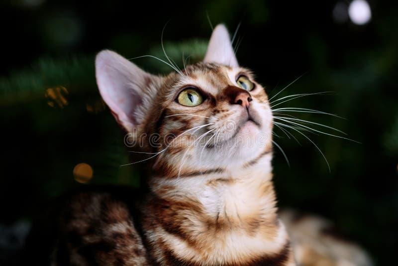 Retrato de estudio de gatos en Bengala fotos de archivo