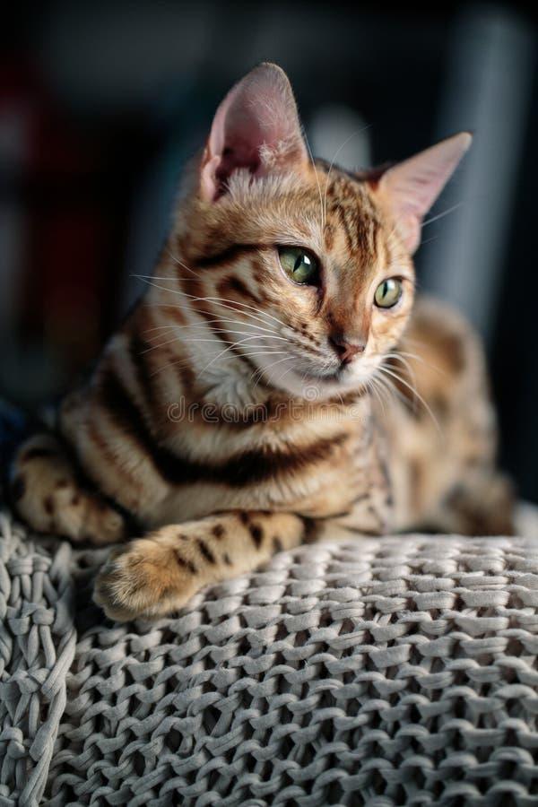 Retrato de estudio de gatos en Bengala foto de archivo libre de regalías