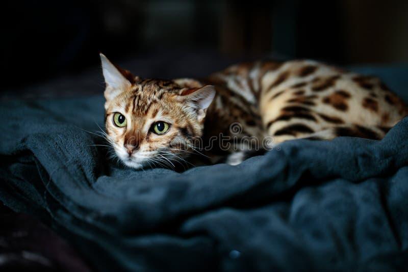 Retrato de estudio de gatos en Bengala imagenes de archivo