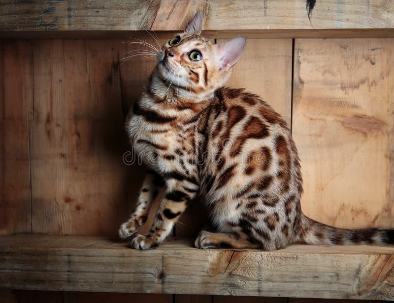 Retrato de estudio de gatos en Bengala imagen de archivo libre de regalías