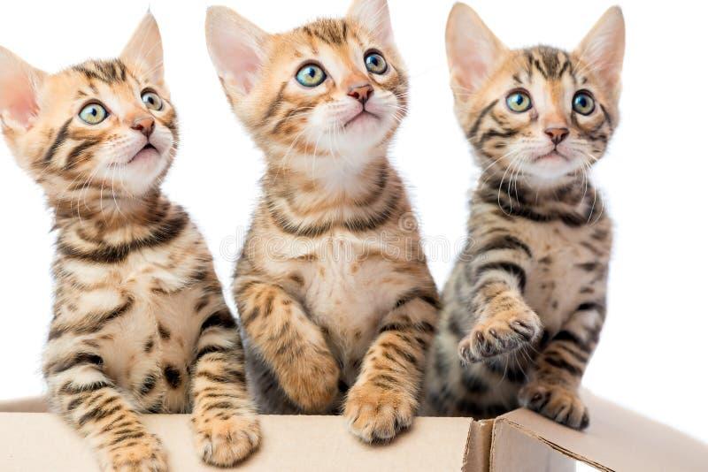 Retrato de gatitos adorables en una caja de cartón fotos de archivo