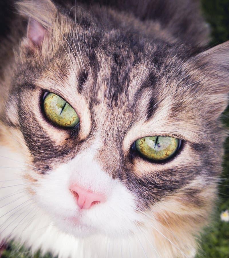 Retrato de gato imágenes de archivo libres de regalías