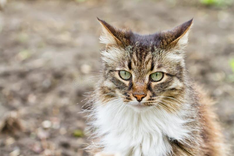 Retrato de gatos domésticos de cabelos compridos fotos de stock royalty free
