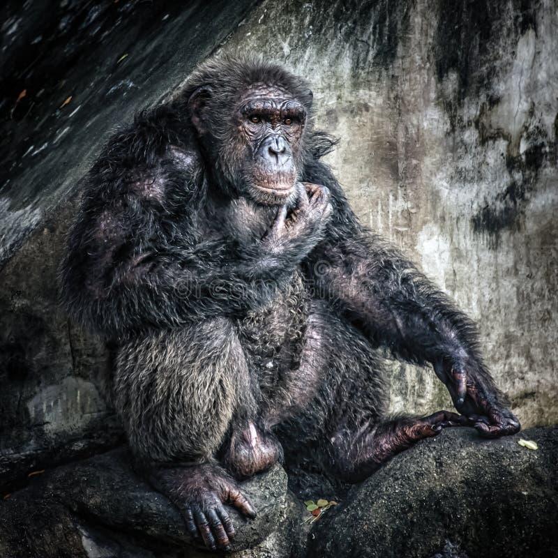 Retrato de gran mono fotos de archivo
