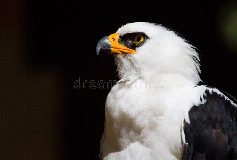 Retrato de Hawk Eagle blanco y negro fotografía de archivo