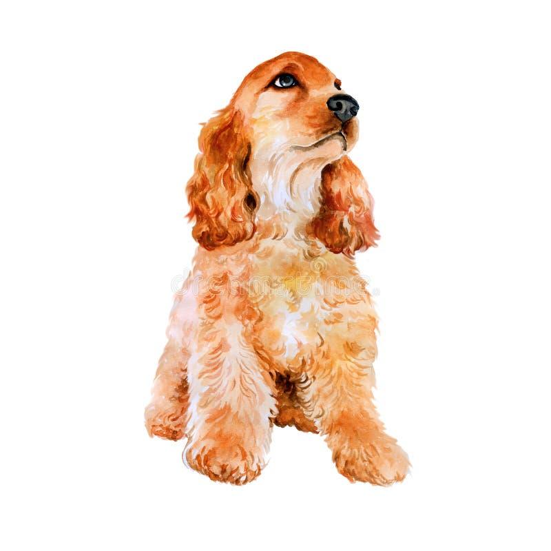 Retrato de inglês vermelho, cão da aquarela da raça de cocker spaniel do americano no fundo branco Animal de estimação tirado mão foto de stock