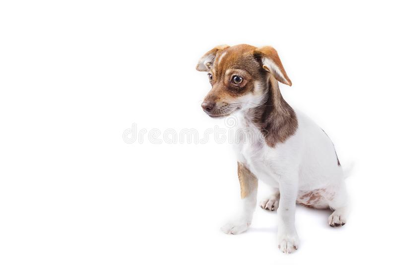 Retrato de Jack Chi Crossbreed Puppy imagem de stock