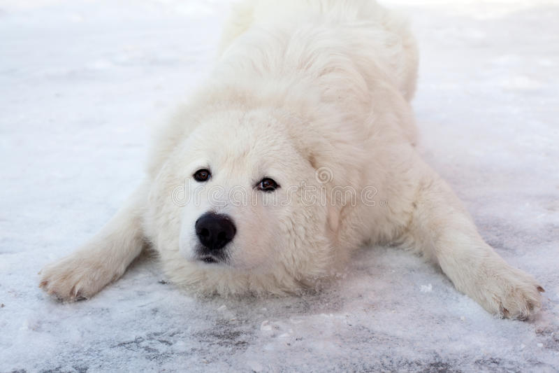 Retrato de jogo novo branco do Sheepdog fotografia de stock