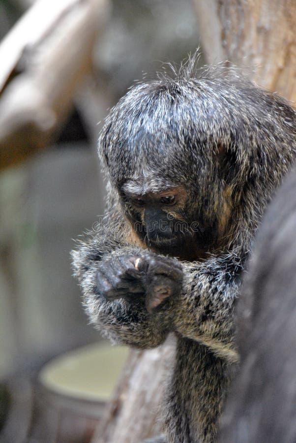 Retrato de jugar del mono del saki fotos de archivo
