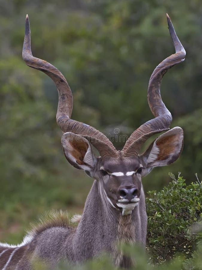 Retrato de Kudu Bull fotografía de archivo