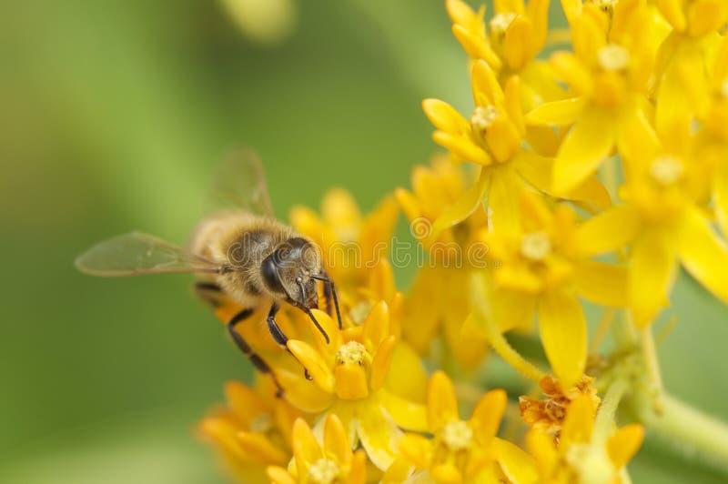 Retrato de la abeja en las flores amarillas foto de archivo