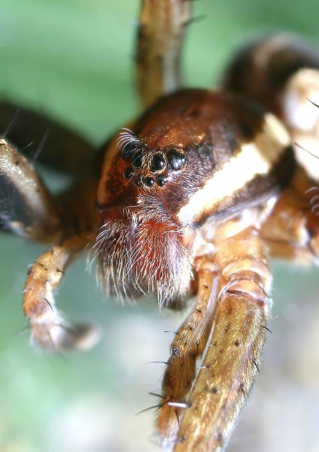 Retrato de la araña imagen de archivo