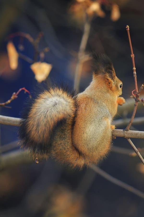 Retrato de la ardilla roja animal con la cola mullida elegante y la piel IL fotografía de archivo libre de regalías