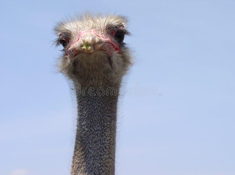 Retrato de la avestruz foto de archivo libre de regalías