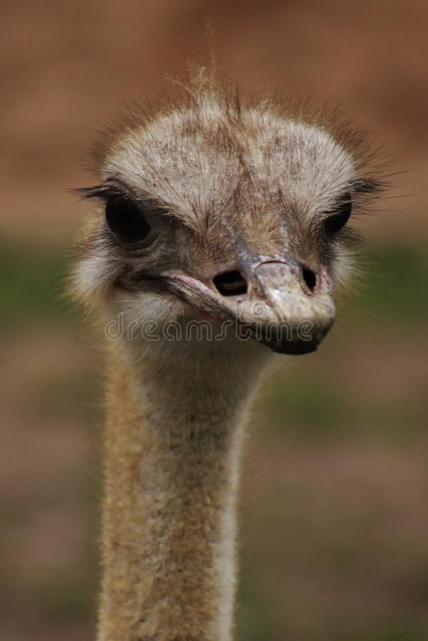 Retrato de la avestruz imágenes de archivo libres de regalías