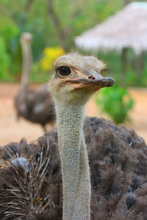Retrato de la avestruz africana femenina fotos de archivo libres de regalías