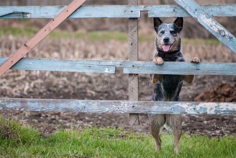 Retrato de la belleza del perro australiano del ganado fotografía de archivo libre de regalías
