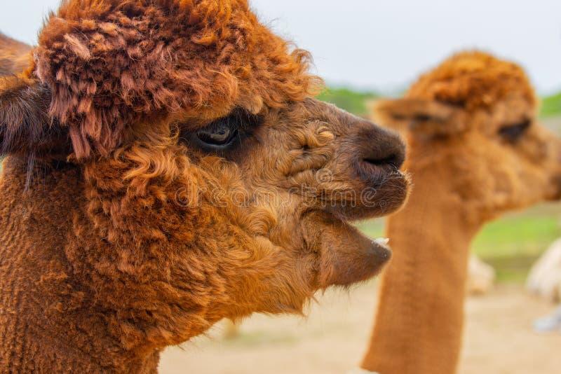 Retrato de la cabeza de la alpaca de Brown con la boca abierta fotografía de archivo