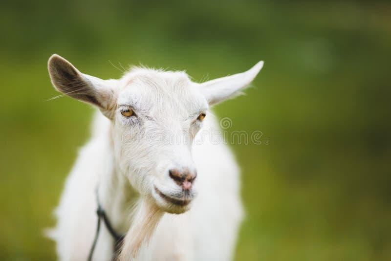 Retrato de la cabra imágenes de archivo libres de regalías