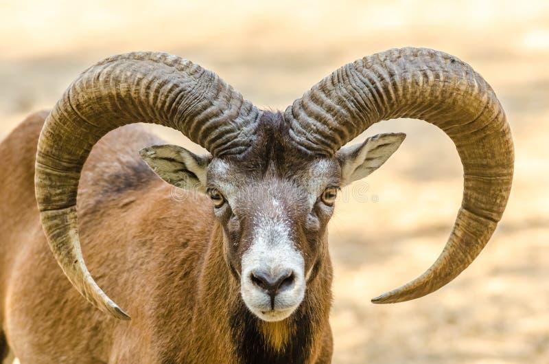 Retrato de la cabra de montaña imagenes de archivo