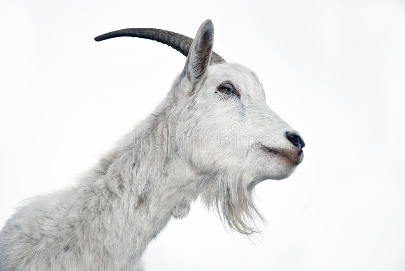 Retrato de la cabra en un fondo blanco foto de archivo