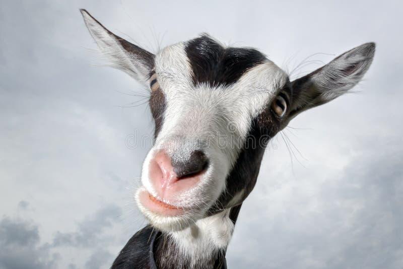 Retrato de la cabra manchada divertida con la nariz rosada, en el fondo del cielo azul imágenes de archivo libres de regalías