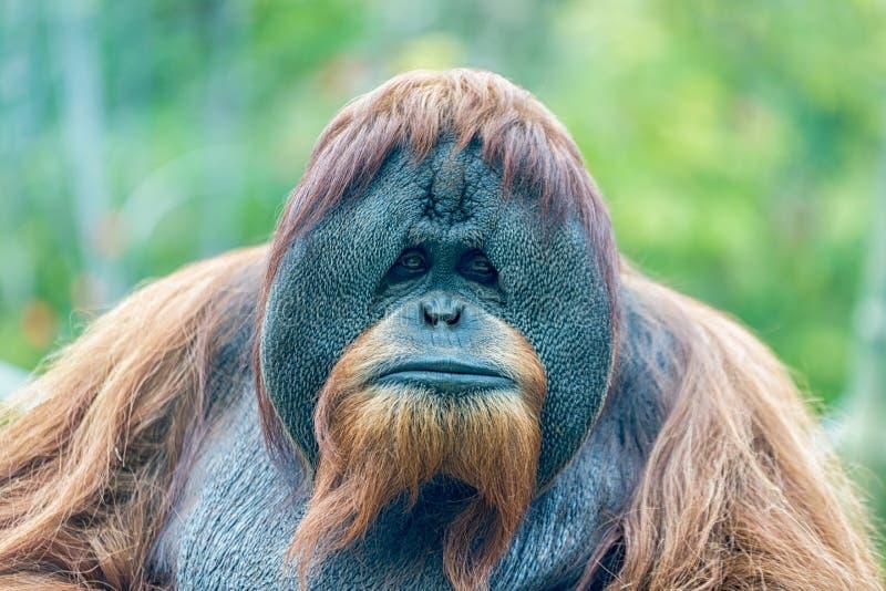 Retrato de la cara del mono del orangután foto de archivo libre de regalías