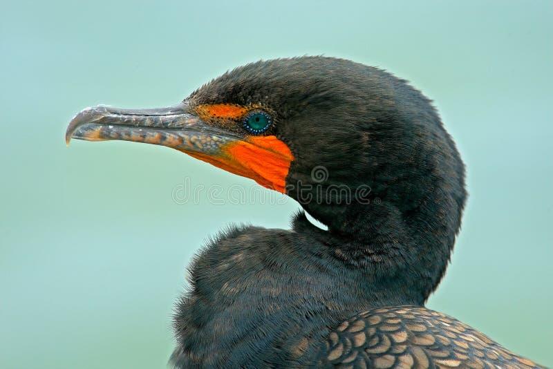 Retrato de la cuenta del detalle del pájaro Cormorán de Neotropic, brasilianus del Phalacrocorax, retrato del detalle con el ojo  fotos de archivo libres de regalías