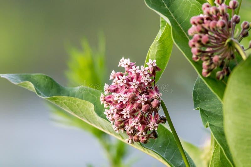 Retrato de la flor del Milkweed apenas que comienza a florecer en última primavera foto de archivo libre de regalías