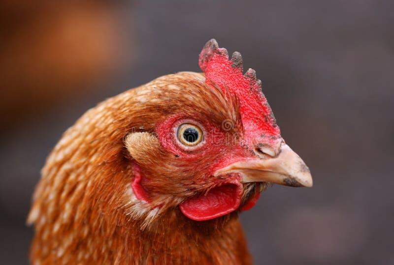Retrato de la gallina imagenes de archivo