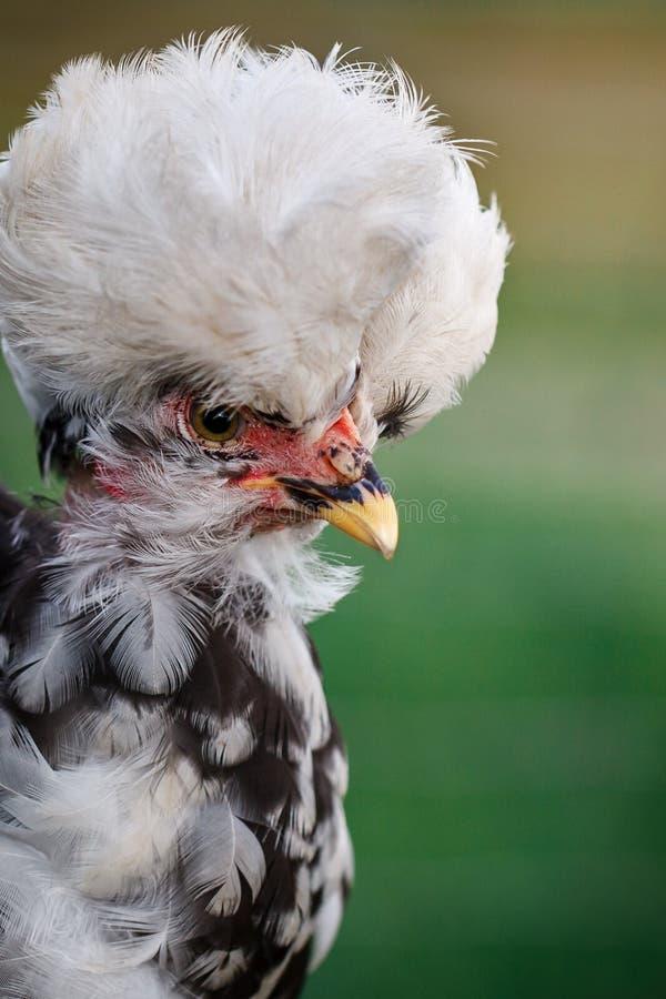 Retrato de la gallina con la cresta grande y blanca foto de archivo libre de regalías