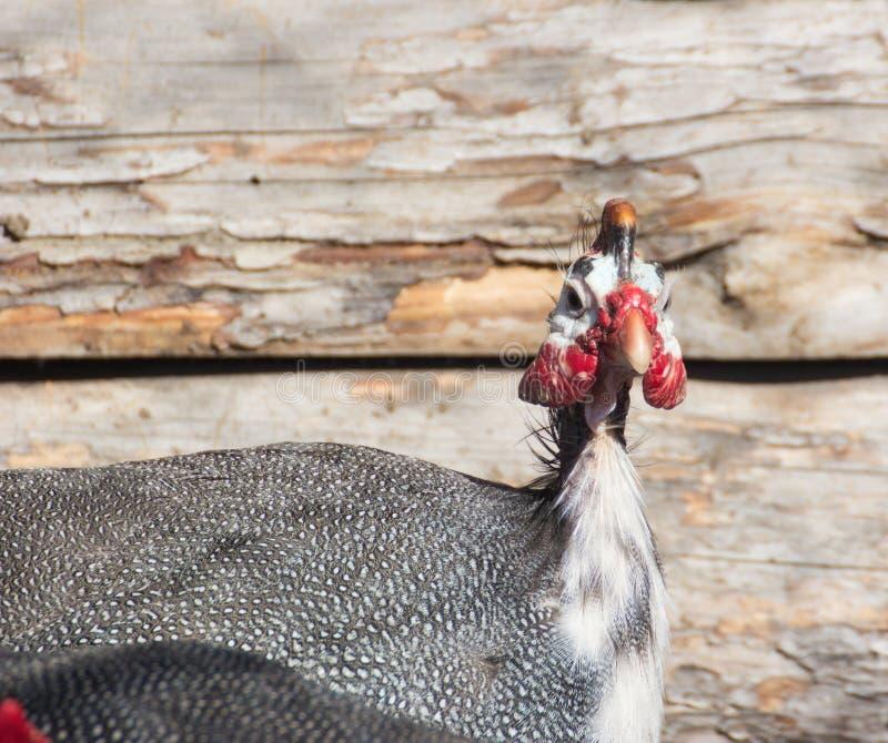 Retrato de la gallina del guineafowl foto de archivo