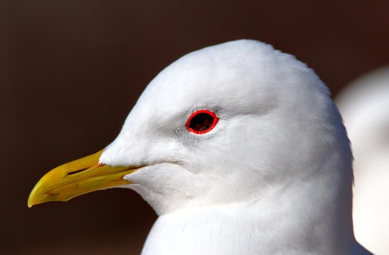 Retrato de la gaviota imagen de archivo libre de regalías
