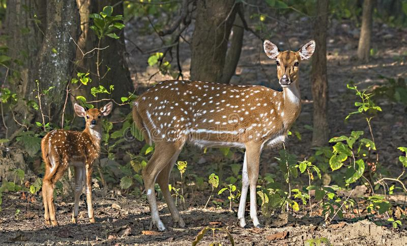 Retrato de la hembra manchada de los ciervos con el cervatillo en el bosque fotografía de archivo