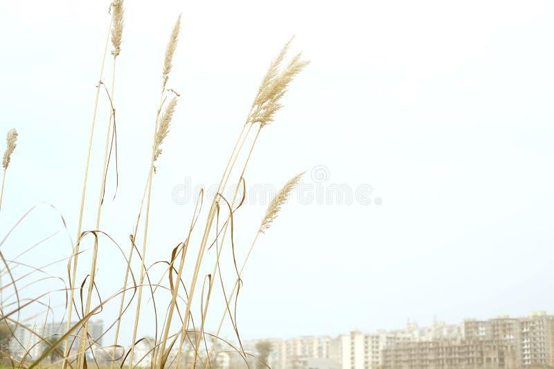 Retrato de la hierba seca alta imagen de archivo