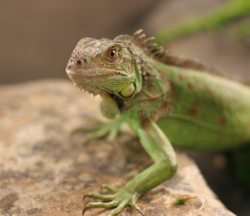 Retrato de la iguana verde imagen de archivo libre de regalías