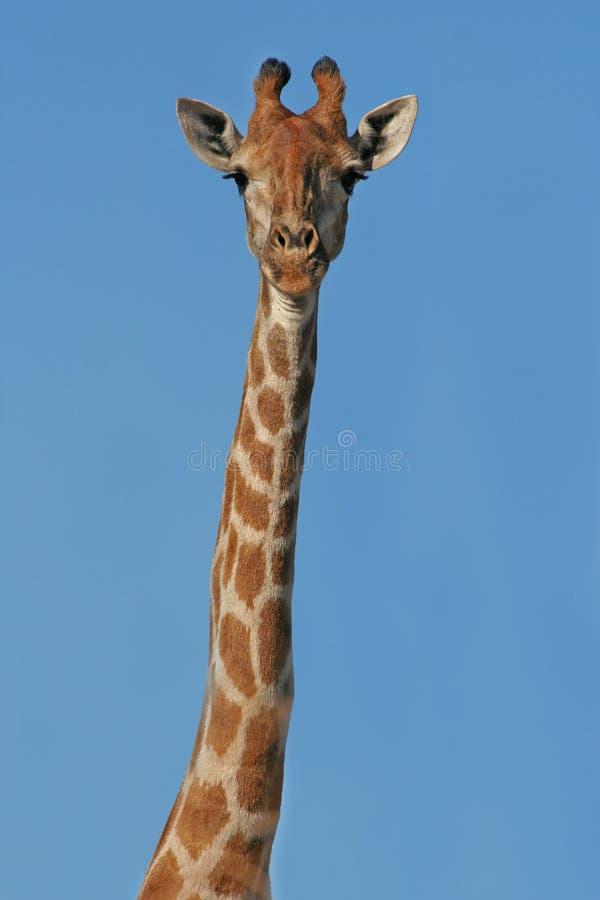 Retrato de la jirafa imagen de archivo