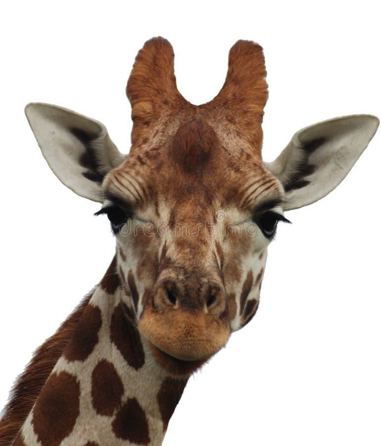 Retrato de la jirafa fotos de archivo