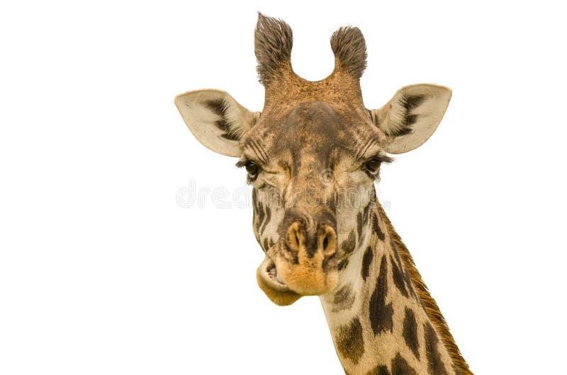 Retrato de la jirafa en el fondo blanco fotos de archivo
