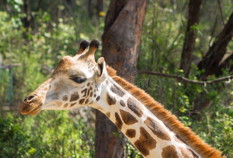 Retrato de la jirafa en el parque de Haller, Mombasa, Kenia imagen de archivo