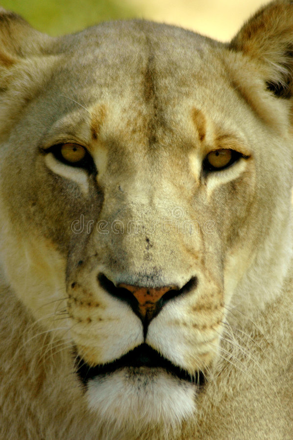Retrato de la leona imagen de archivo