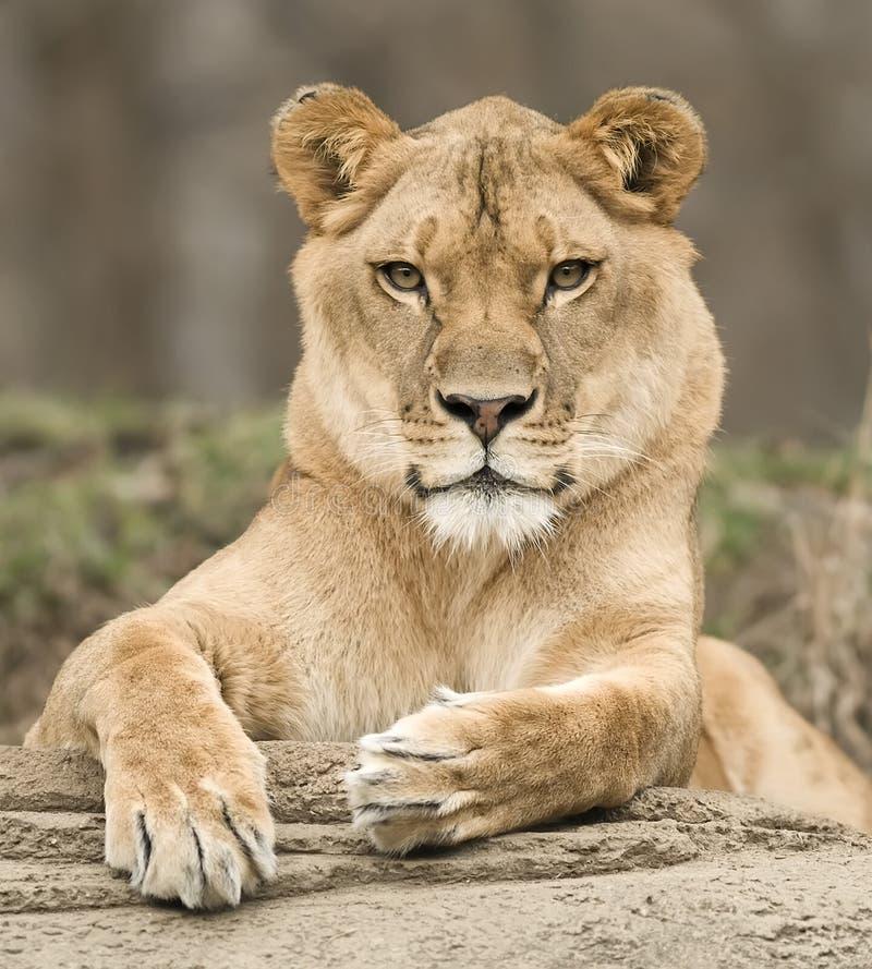 Retrato de la leona   imagen de archivo libre de regalías