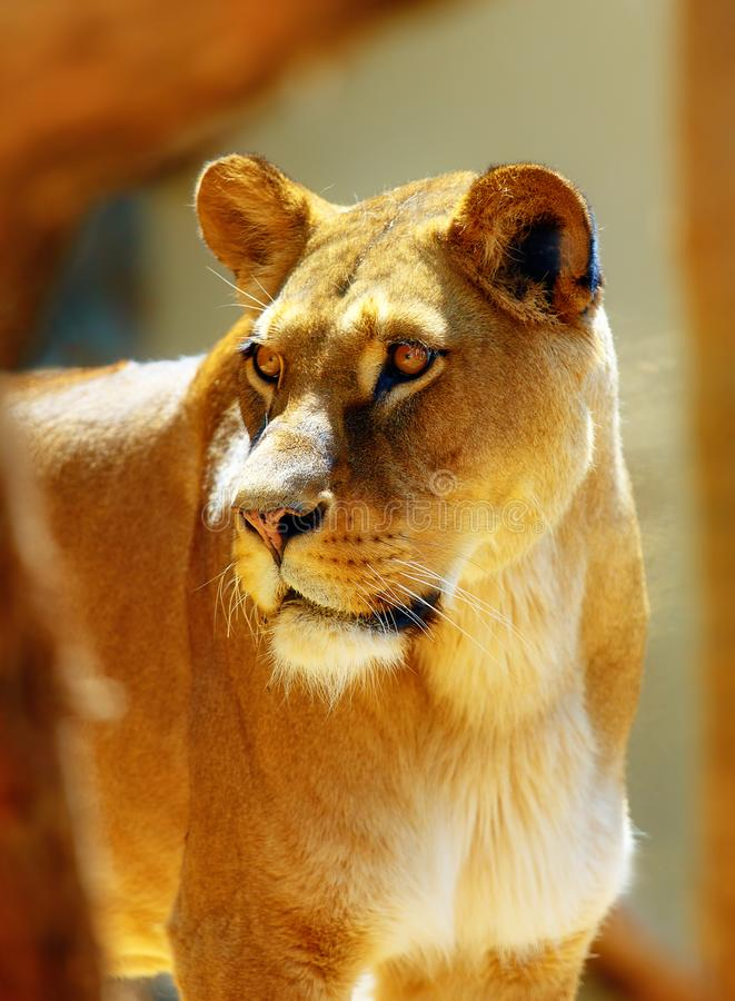 Retrato de la leona africana en fondo borroso fotografía de archivo