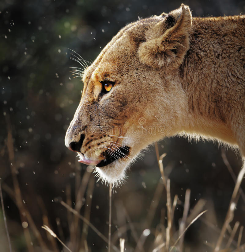 Retrato de la leona en la lluvia imagenes de archivo